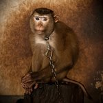 Sad and injured macaque chained up and waiting to perform