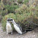 Pingüinos en sus nidos