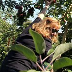 Up the ladder to pick the highest apples