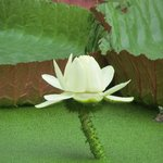 A very obliging giant water lily in bloom