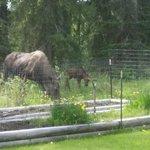 Moose in Garden