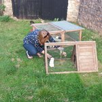feeding the chickens and guinea pigs