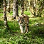 Amur Tiger having a stroll in their beautiful woodland enclosure