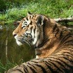 Amur Tiger enjoying the sun at Highland Wildlife Park