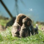 Japanese Macaque Monkey with their baby