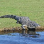 Always Alligators