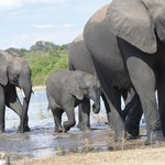 large herds of elephants at Chobe