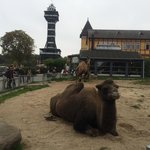 Camels and zoo tower.