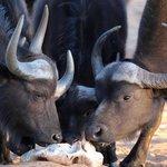 Waterberg Plateau Buffalo