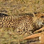 Cheetah with prey