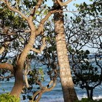 Some unique trees right along the beach at Kapa'a Shores