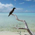 Fou brun sur l'île aux oiseaux de Tetiaroa