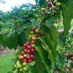 Coffee Plant!