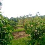 Coffee Plantation Downslope