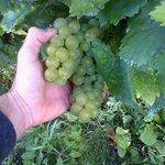 La dolcissima uva moscato