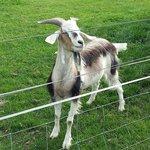 Senior Goat