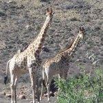 My favourites, giraffe
