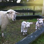 Lambs for hand rearing