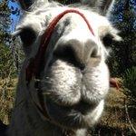 Lucy Llama Llama