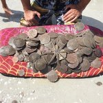 Lots of sand dollars