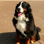 Jonas, one of the ambassador dogs.  Magnificent fellow.