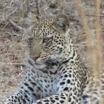 one of our many leopard sightings