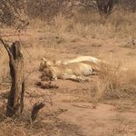 Two female lions napping in the sun.