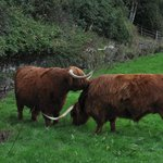 Highland's cattle