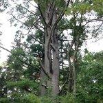 Amazing old White Pine on property