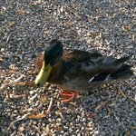 One very friendly duck. He just strolled around with the cats like he owned the place.