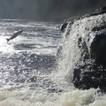 Salmon jumping at Sir Richard Squires Provincial Park