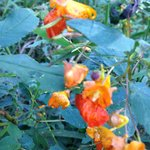 Explosive Jewelweed (aka Touch-Me-Nots)
