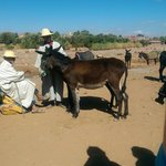 Mule auction at the Berber market