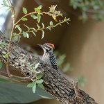 Ladder-backed Woodpecker in the garden