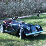The Morgan relaxing under the olive trees