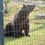 Grizzley bear at the Discovery center