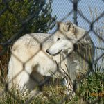 Wolf at the Discovery center