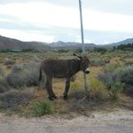 burros bonnie springs