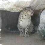 Himalayan snow leopard-1