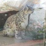 Himalayan snow leopard-2