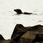 Otter in the loch early morning