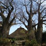 Baobobs