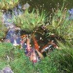 Fish in Japanese Tea Garden