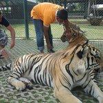 Tiger in Phuket