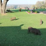 Some of the living lawnmowers at the Victoria Falls Hotel