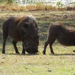 Warthog sharing our sundowners!