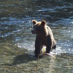 Momma Grizzly hunting for salmon
