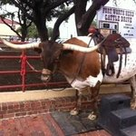 Look at this Longhorn!  For fee you can get your picture taken