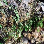 maiden's hair fern on rock at spring on row