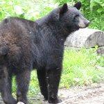 Observation des ours en milieu sauvage